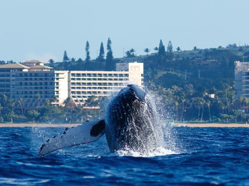 humpback breaching maui