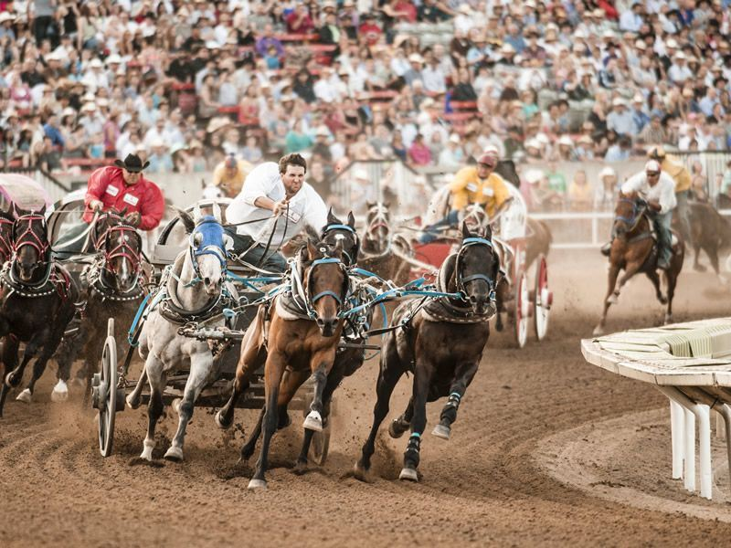 its all action at the calgary stampede