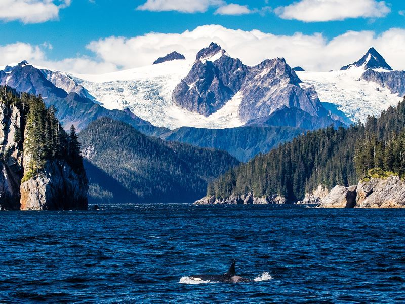 killer whale surfaces below massive glaciers kenai fjords alaska