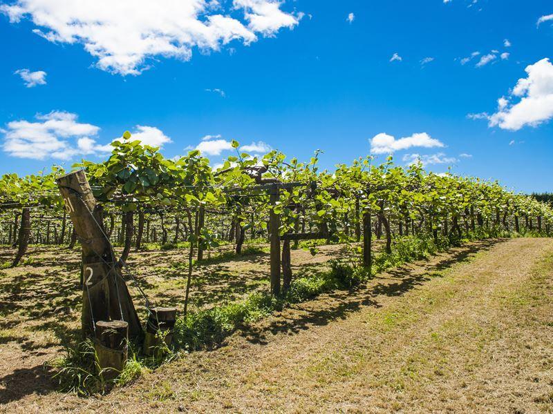 kiwi fruit plantation coromandel peninsula