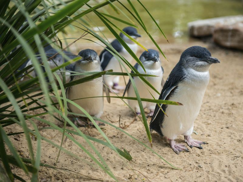 little penguins of philip island