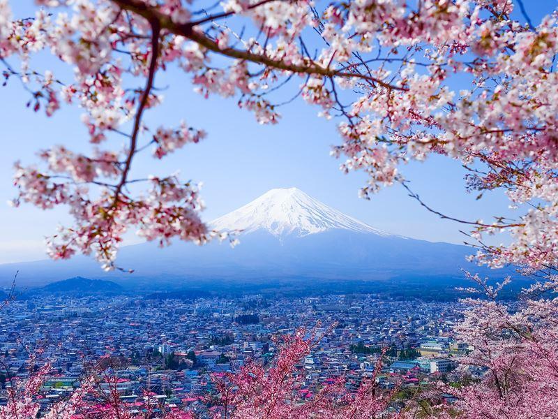 mount fuji spring sakura
