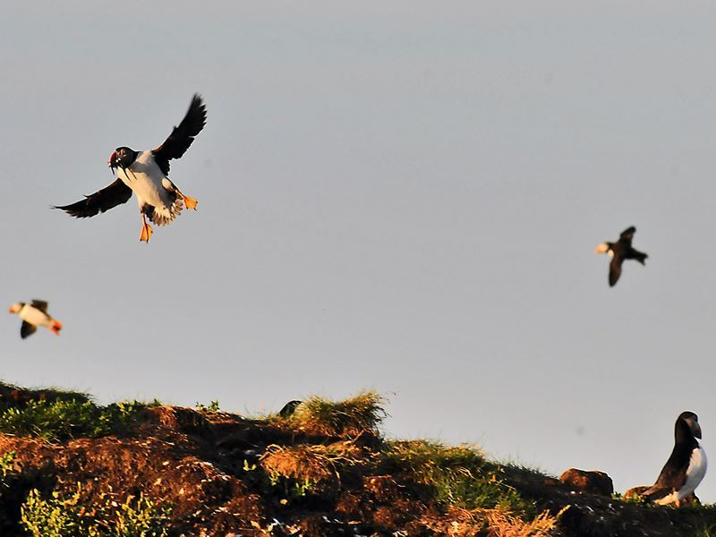 puffins elliston newfoundland