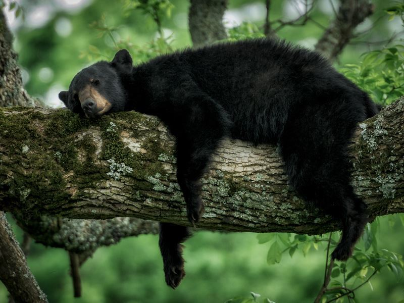 Sleeping bear in the Great Smokies
