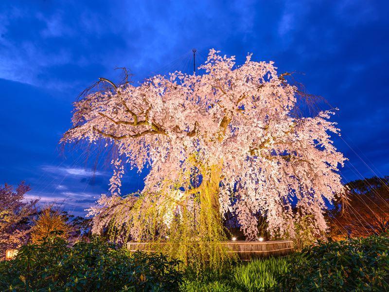 spring cherry blossom festival maruyama park kyoto