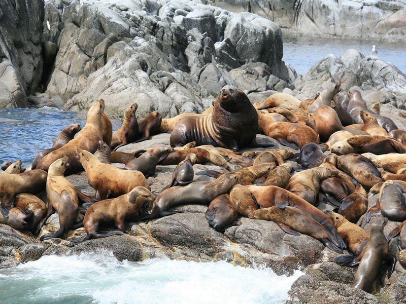 steller sea lions prince rupert british columbia