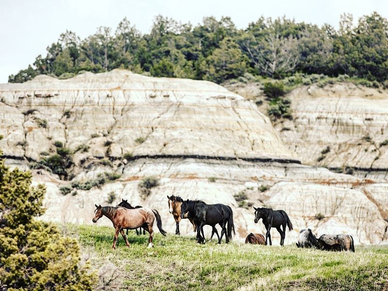 wild horses of theodore roosevelt national park north dakota