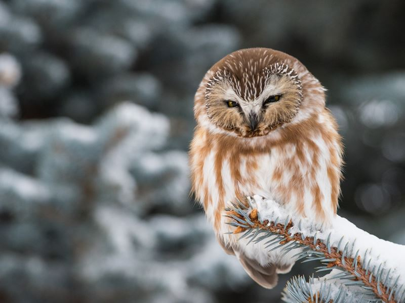 wild saw whet owl alberta