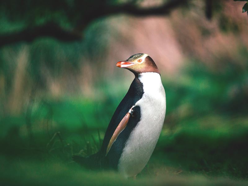 yellow eyed penguin south island new zealand