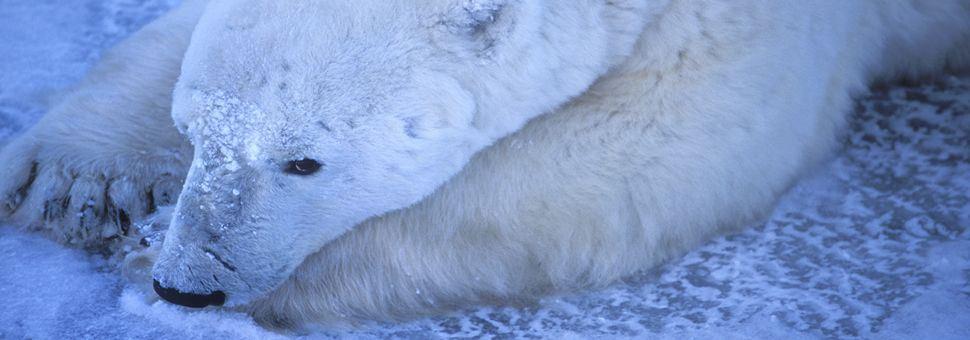 Lone polar bear lying on icy Hudson Bay shore