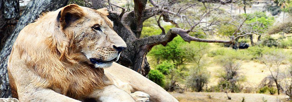 Lion of the Serengeti, Tanzania
