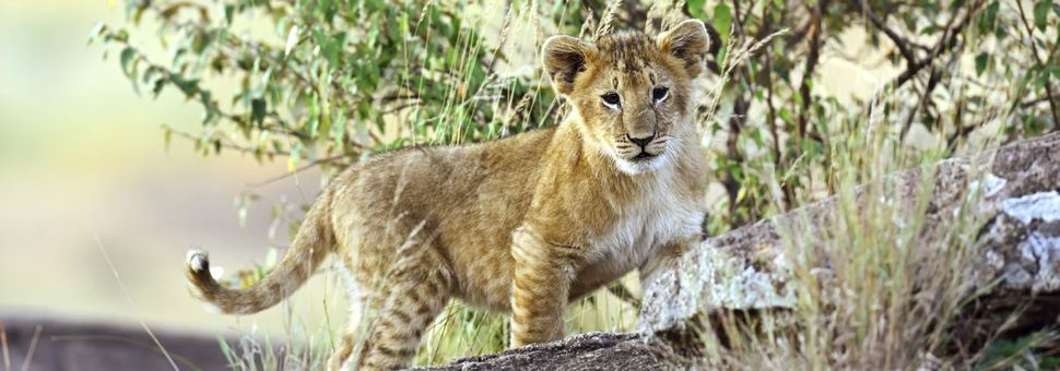 Cute lion cub of Tsavo National Park